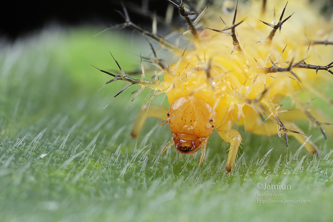 Larva of the above ladybug?