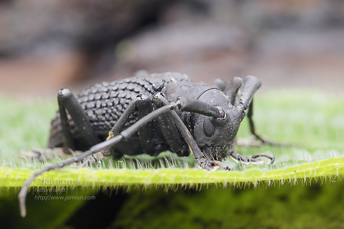Lamiinae, Trachystola granulata. ID infor by Kurt Orion G..