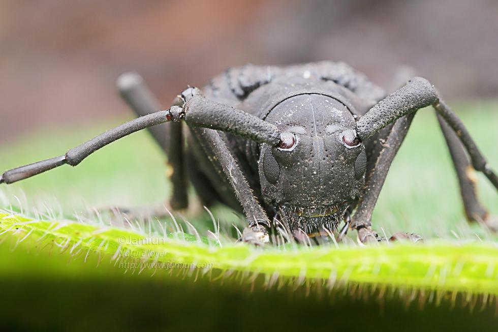 Lamiinae, Trachystola granulata. ID infor by Kurt Orion G. Added 21 July 2014
