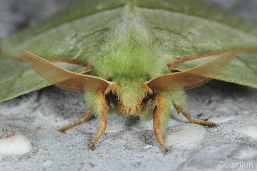 Beautiful moth attracted to light we found at night. (Sunda green vishnu moth?)