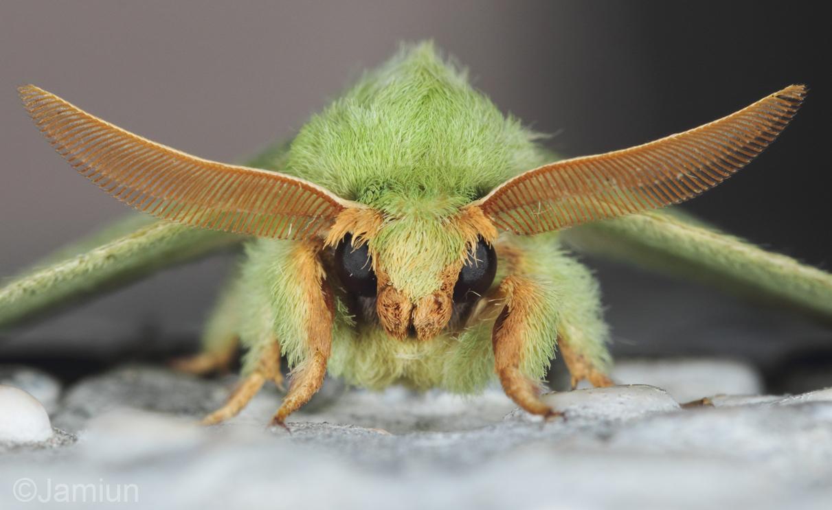 Sunda green vishnu moth?