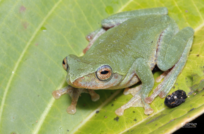 Masked Tree Frog, Rhacophorus angulirostris. Green coloration.