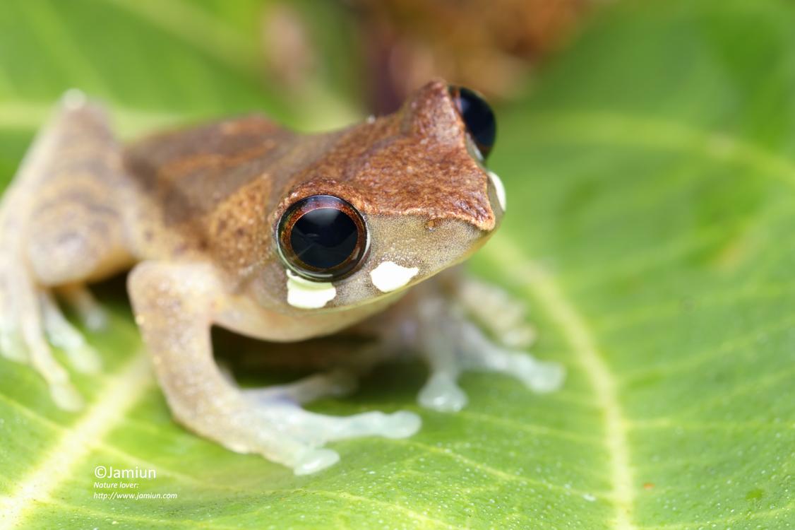 Masked Tree Frog, Rhacophorus angulirostris.