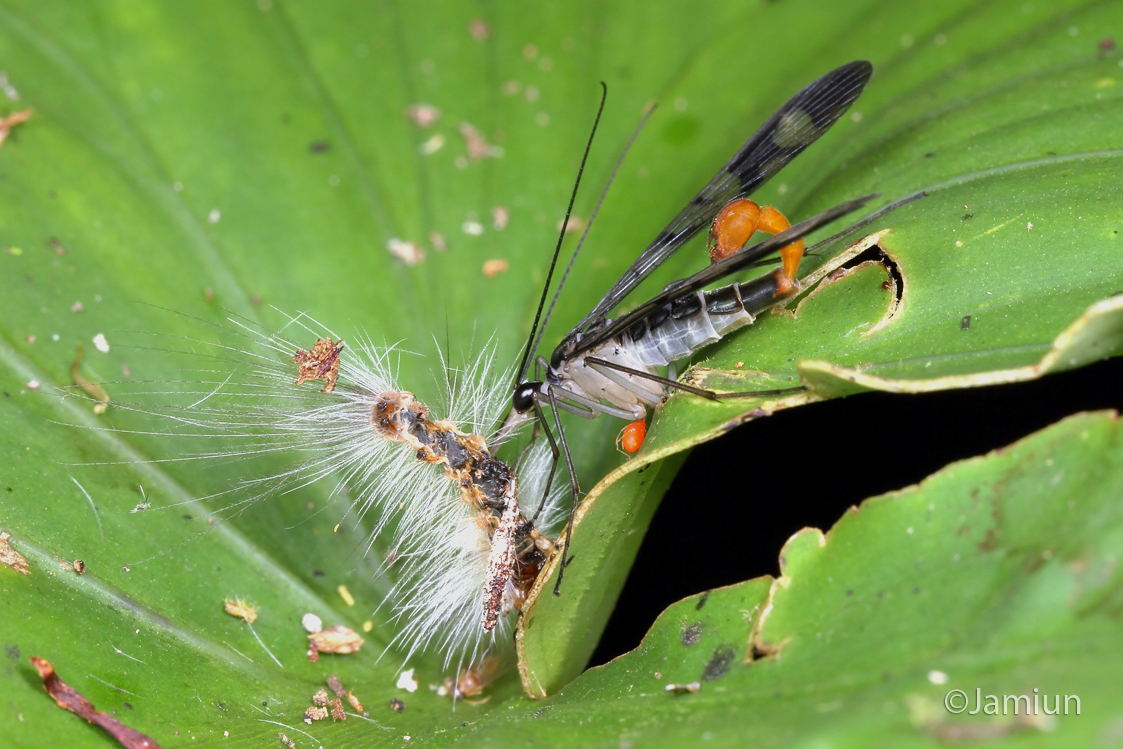 Scorpionfly with prey and mite