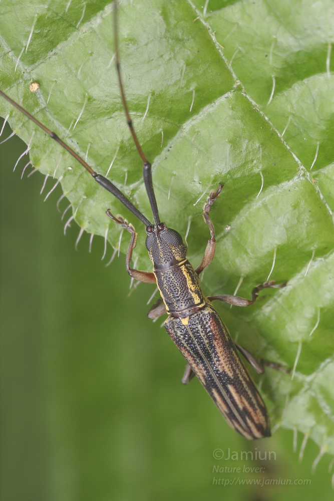 Long Horned Beetle