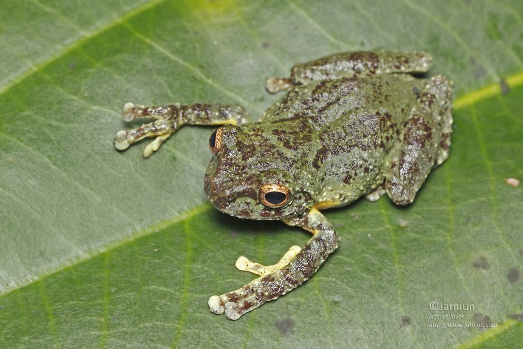 Rhacophoridae, Philautus bunitus