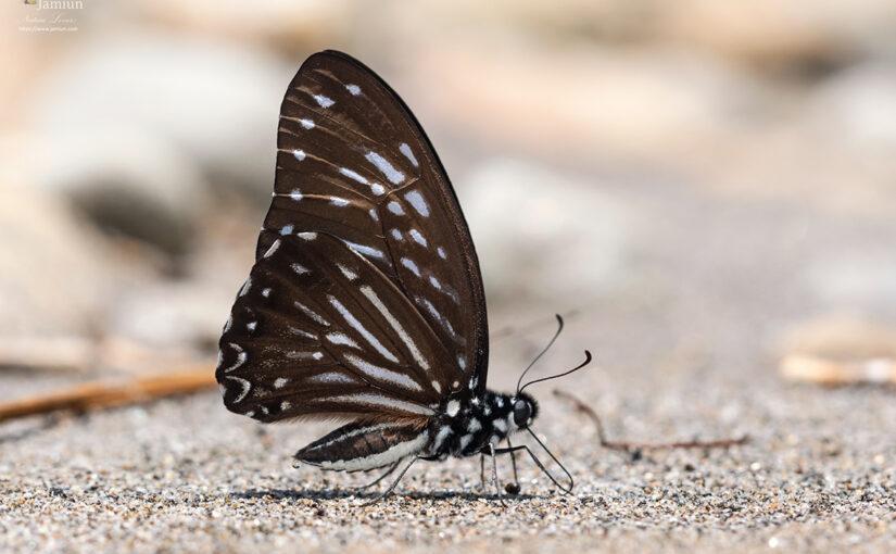 Graphium macareus macaristus [Mimic Zebra]