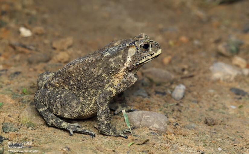 Duttaphrynus melanostictus (Common Sunda Toad)
