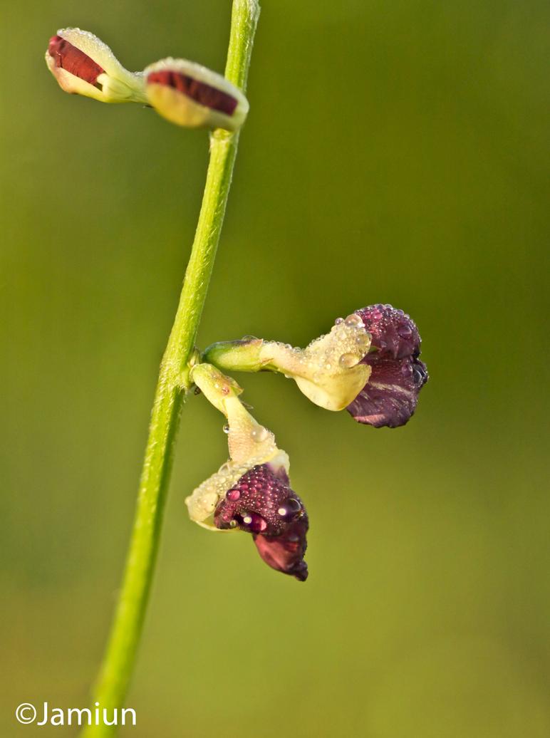 bunga gouton-2