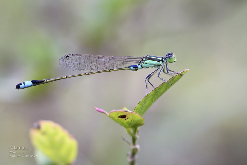 Ischnura senegalensis (male). Posted 8 July 2015.