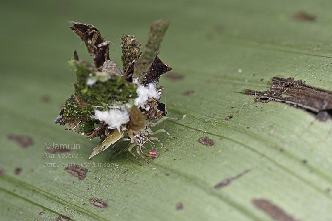 Lacewing's larvae, the great transporter with it's prey (an insect, but not a mite for sure)