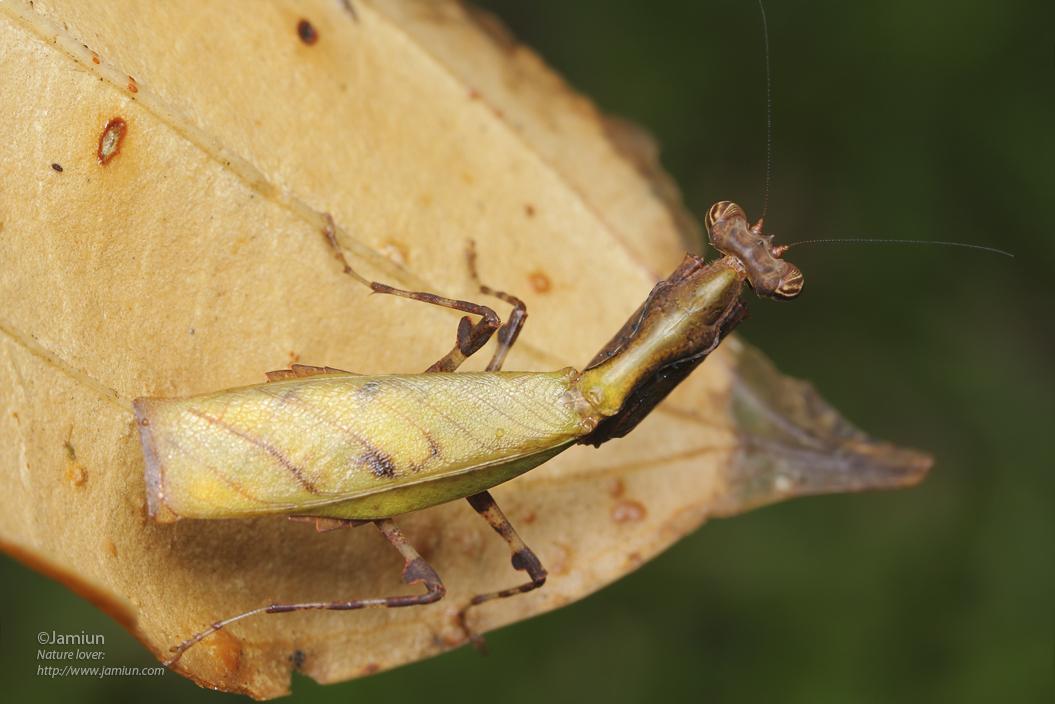 Leaf mantis?