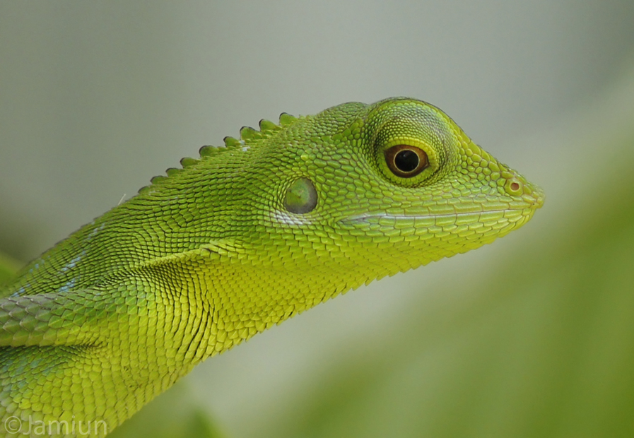 Green Crested Lizard Archives - Jamiun's Photography