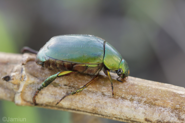 Scarabaeidae,Anomala expansa