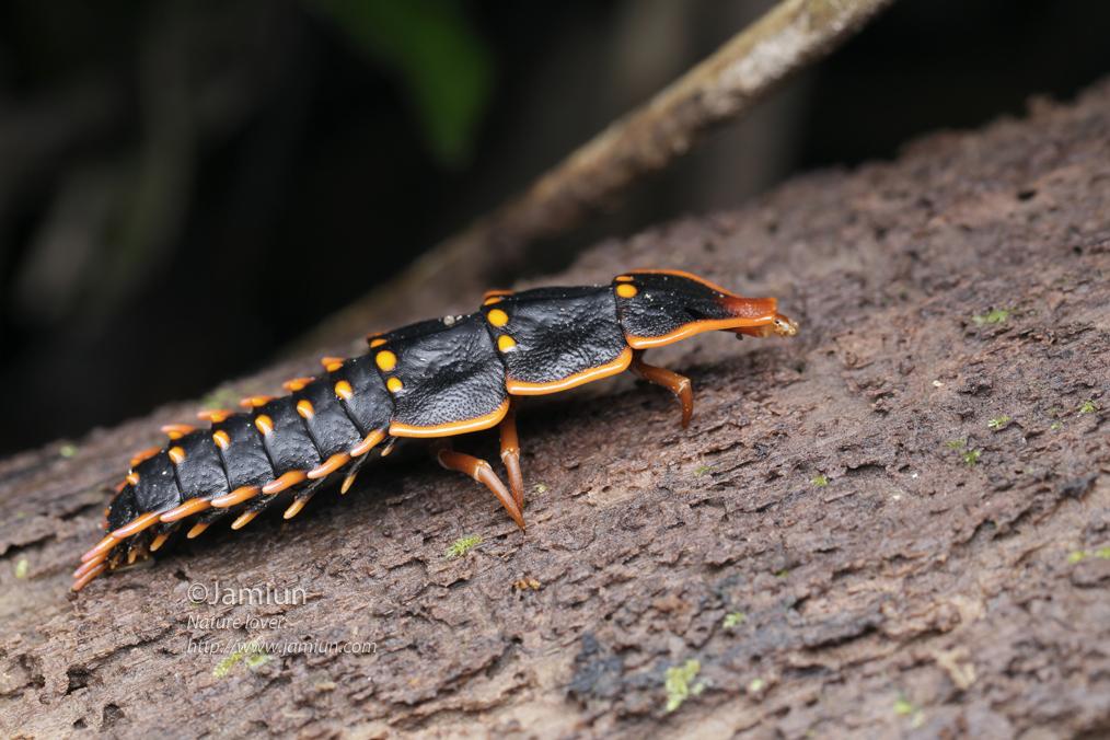 The larvae? Duliticola sp.?