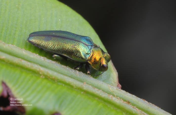 Endelus sp.