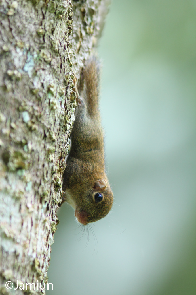 Another pose of this small squirrel