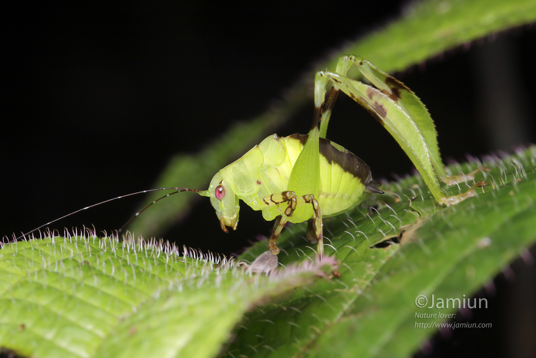 Beautiful Katydid.. found at night