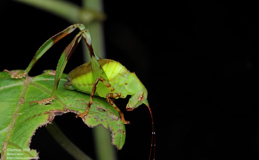 Katydid, Tettigoniidae