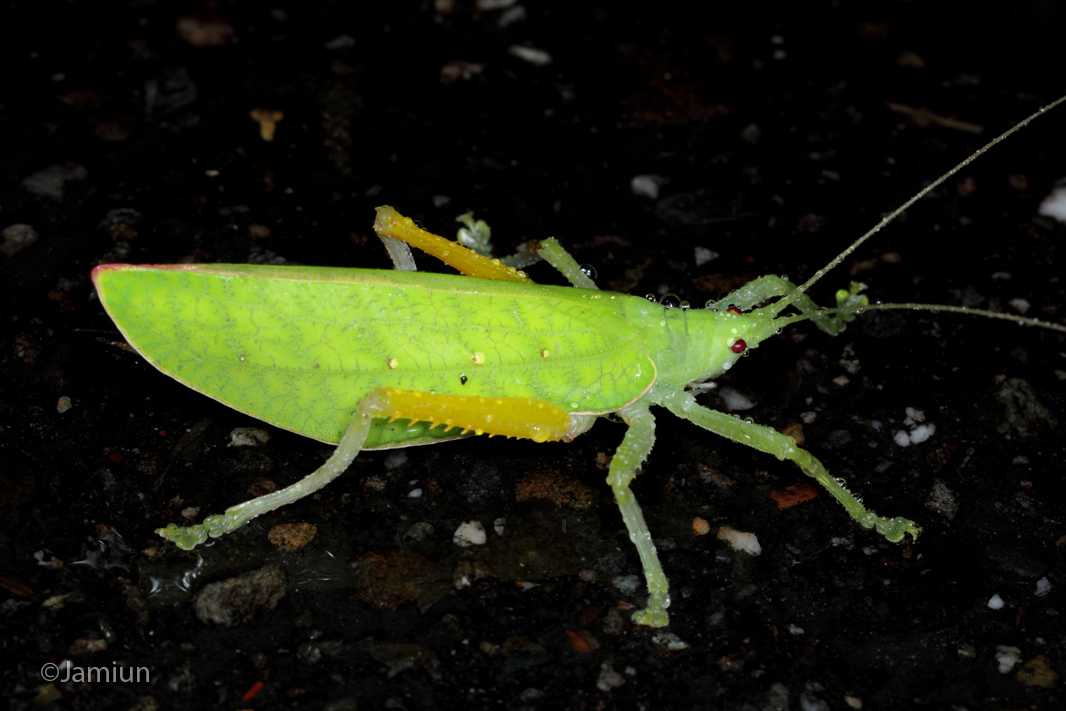 I saw this Katydid crossing the road while i'm driving at that rainy night ;)