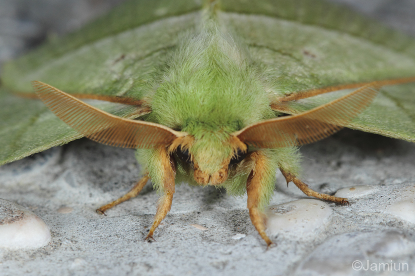 Beautiful moth attracted to light we found at night. (Sunda green vishnu moth?)