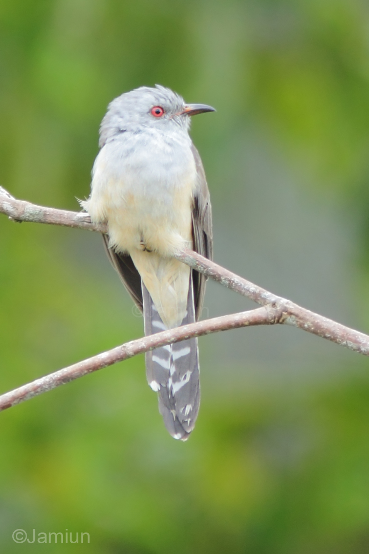 Plaintive cuckoo. ID suggestion by Jasnnie Mark Jainol