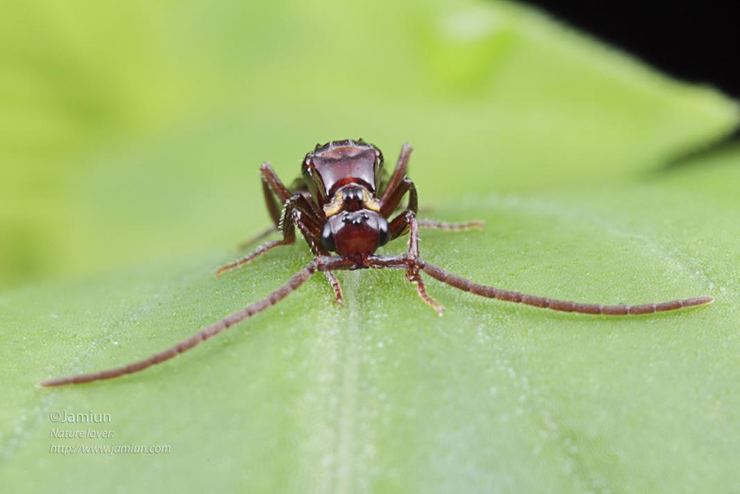 Chrysididae, Loboscelidinae cuckoo wasp ID Credit : Nikola Rahme