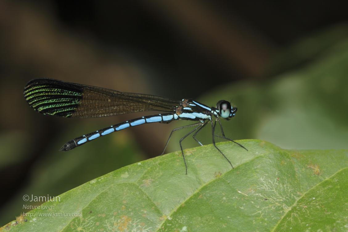 I love the vibrance color of this Odonata. Rhinocypha humeralis, Selys, 1873.