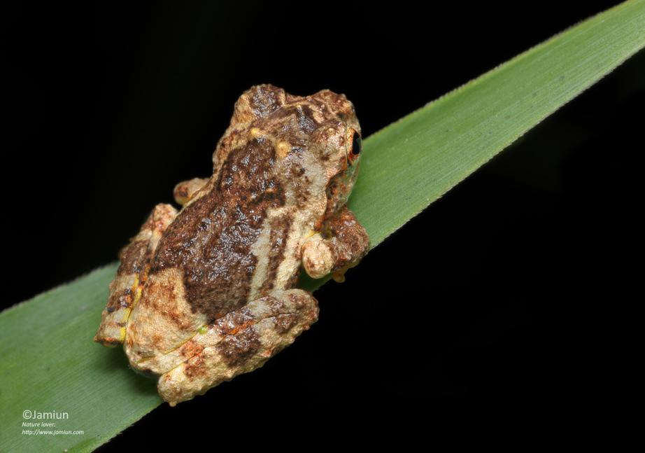 P. aurantium