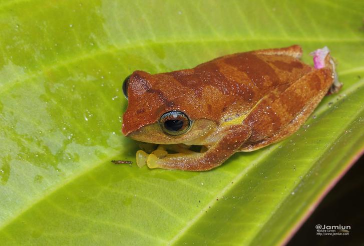 Masked Tree Frog. Rhacophoridae, Rhacophorus angulirostris