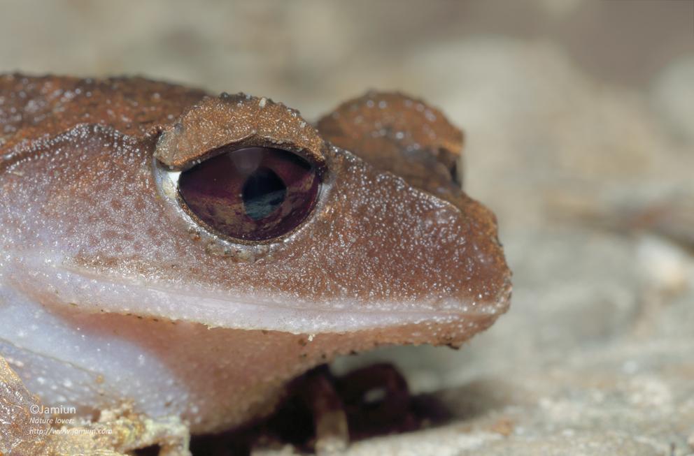 L. montanum
