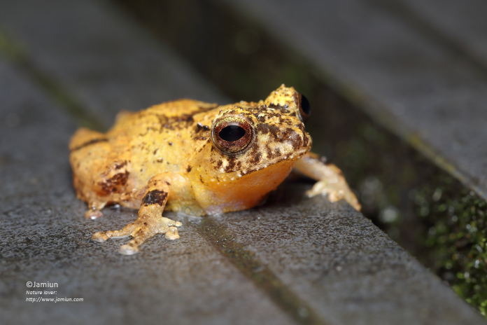 Peter's Bush Frog (Philautus petersi).