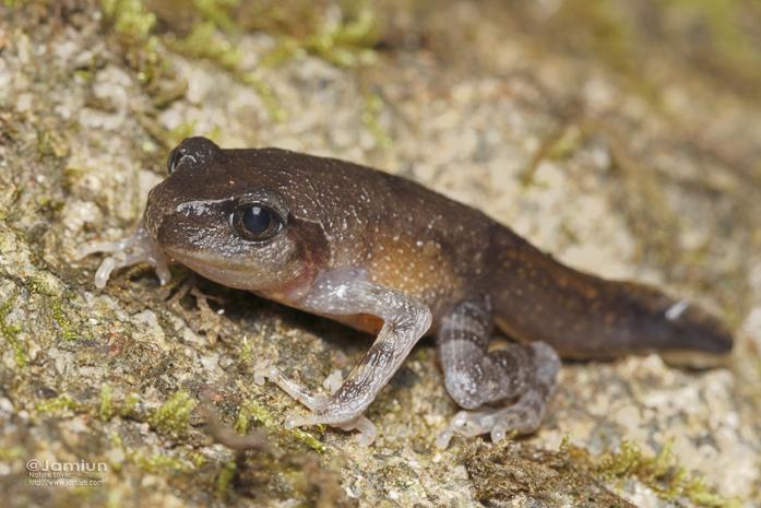 Leptobrachium gunungense or L. montanum.