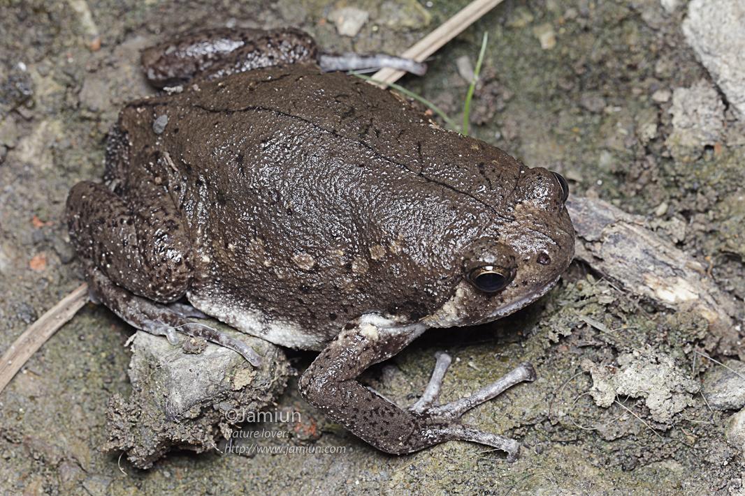 Bufonidae