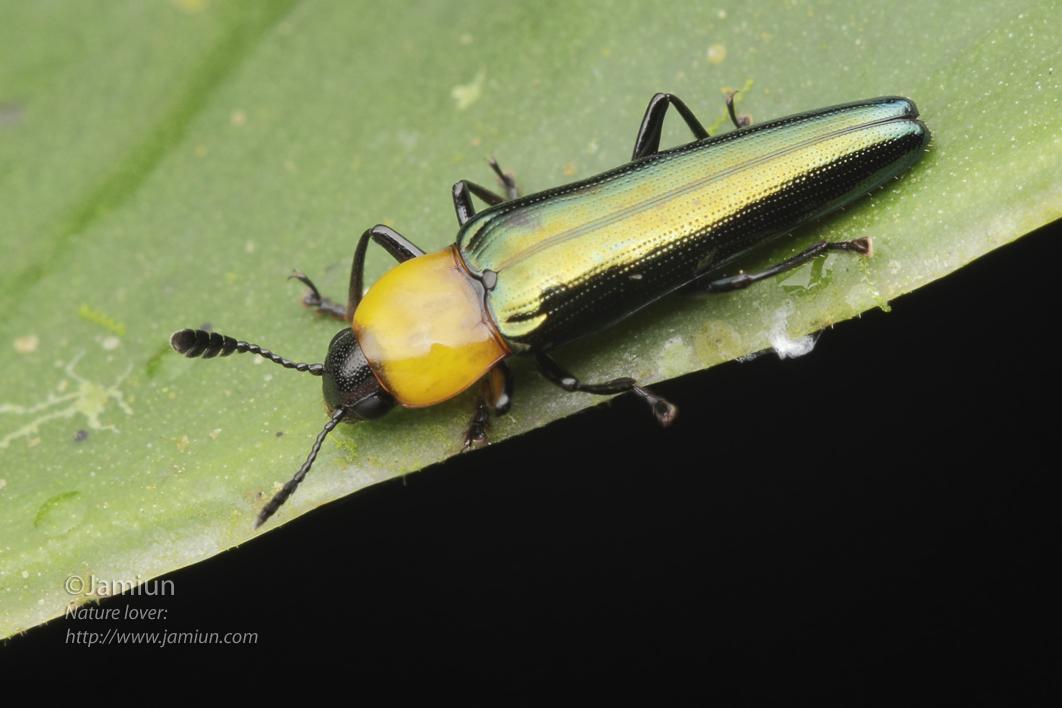 Languriidae