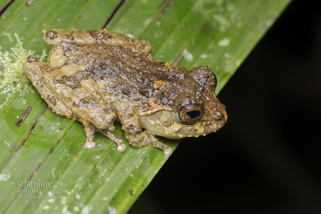 Looks like a young juvenile of Mossy Bush Frog. Rhacophoridae, Philautus macroscelis?