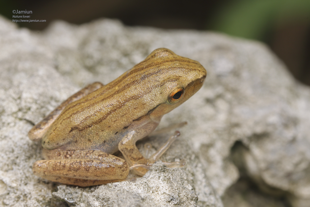 The Four-lined Tree Frog (Polypedates leucomystax)?