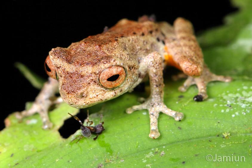 Golden legged bush frog Philautus aurantium