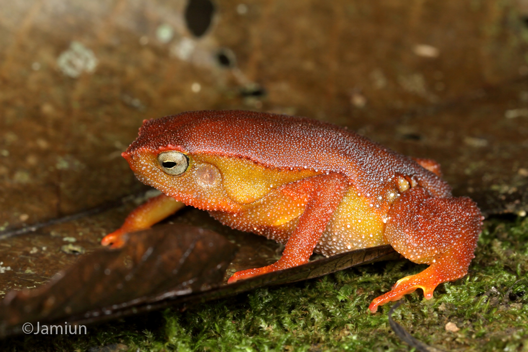 It was truly one of the most amazing coloured frogs. Kalophrynus sp. ID suggested by Kurt Orion G