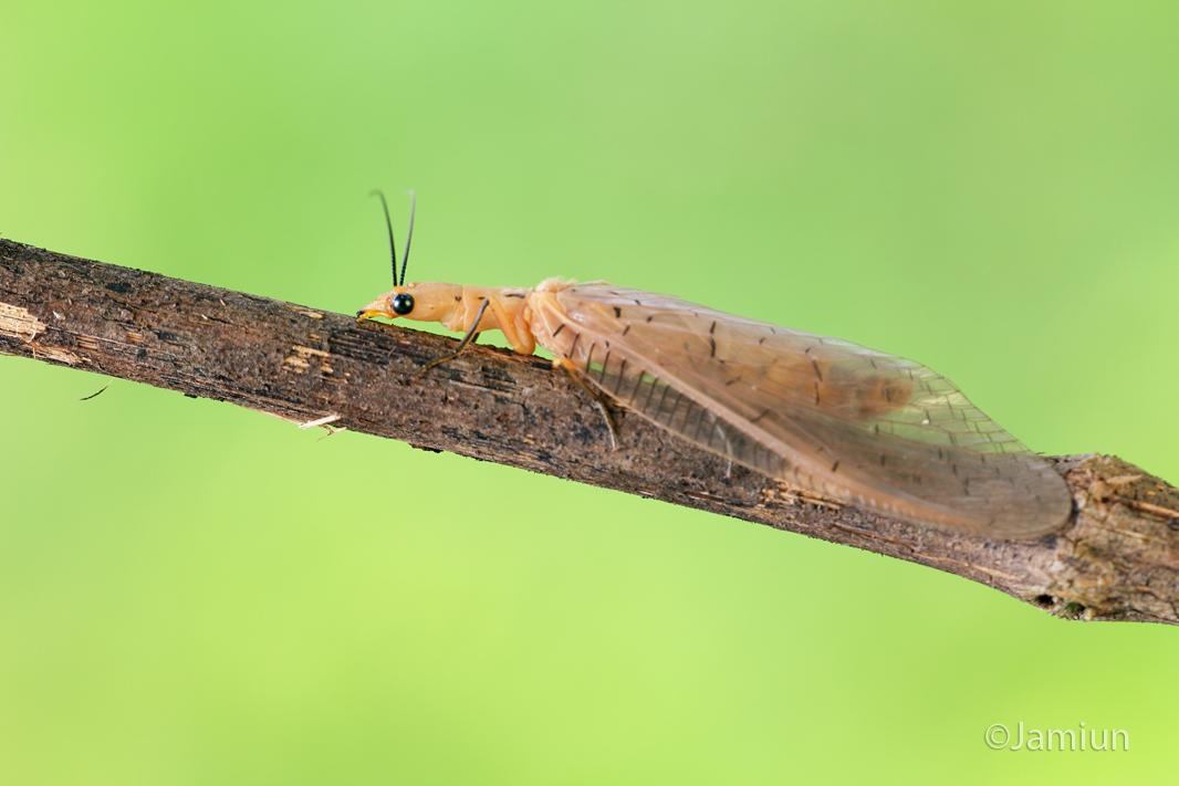 Dobsonfly, Nevromus gloriosoi, Liu, Hayashi & Yang, 2012 (Corydalidae: Corydalinae), ID credit: Xingyue Liu. Infor: Kurt Orion G.