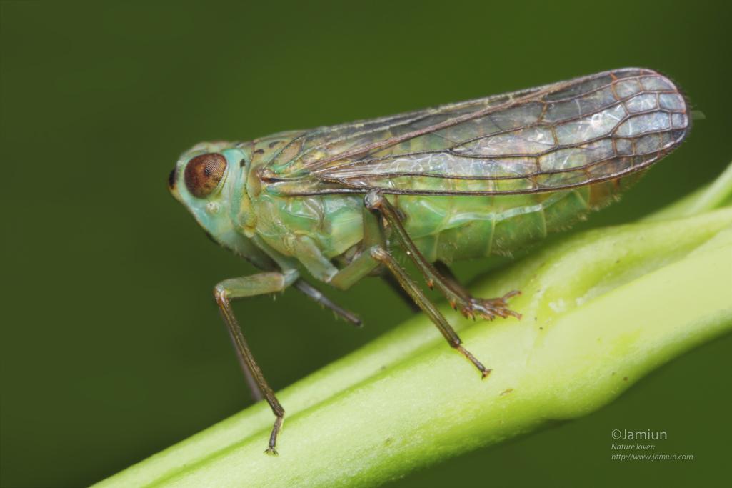 Leafhopper?