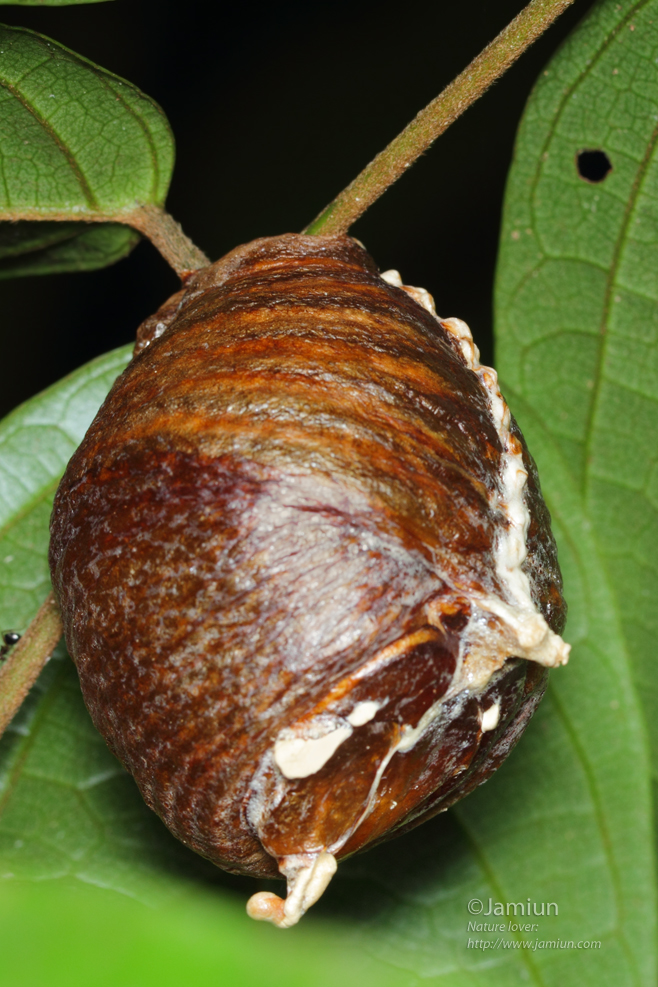 Mantis egg sac