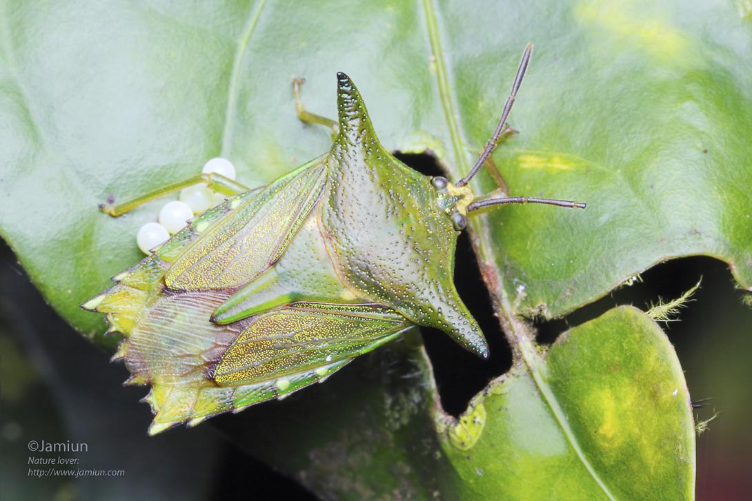 Shield bug with egg