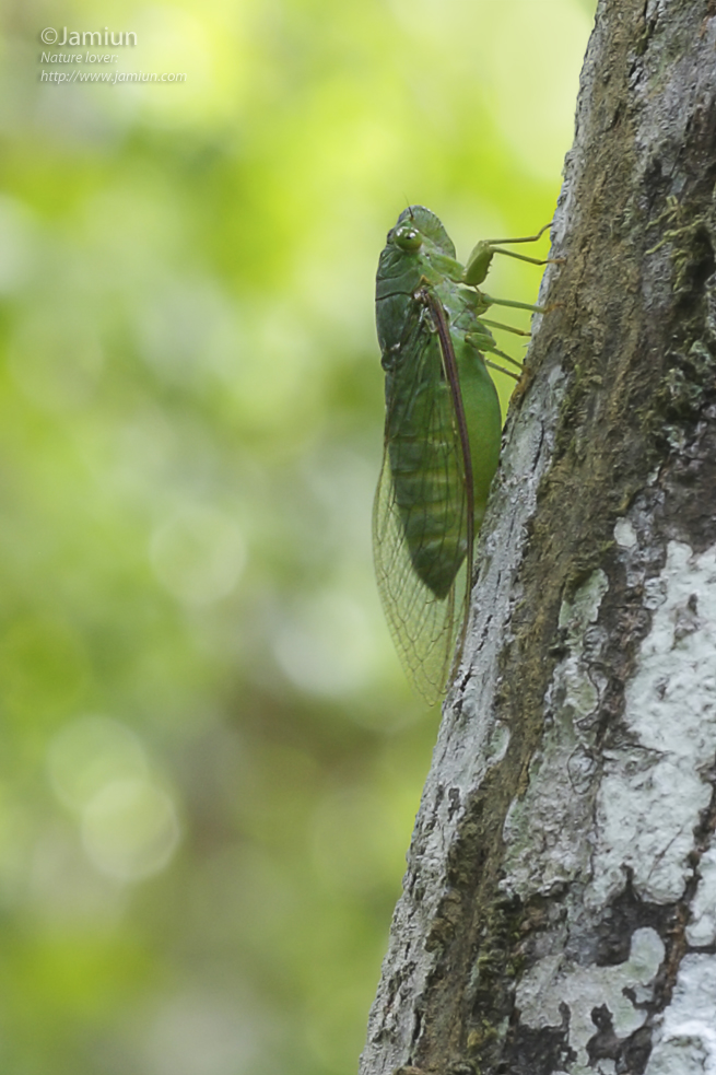 A Cicada