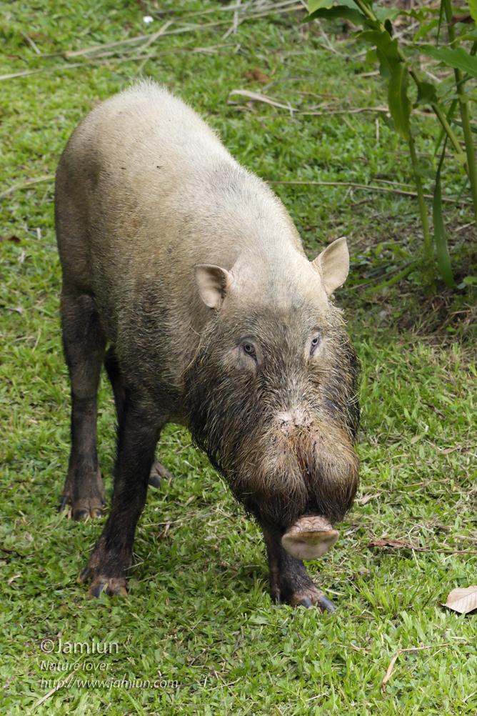 Wild boar visiting us ;)