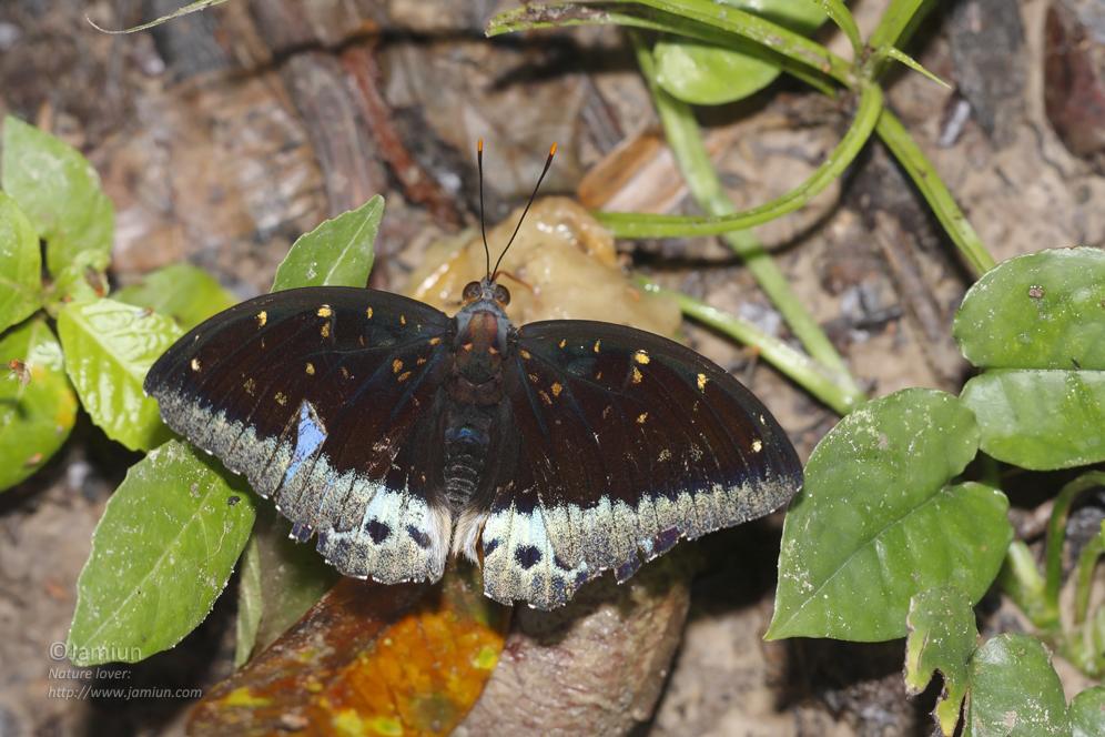 Nymphalinae. Lexias pardalis? Male