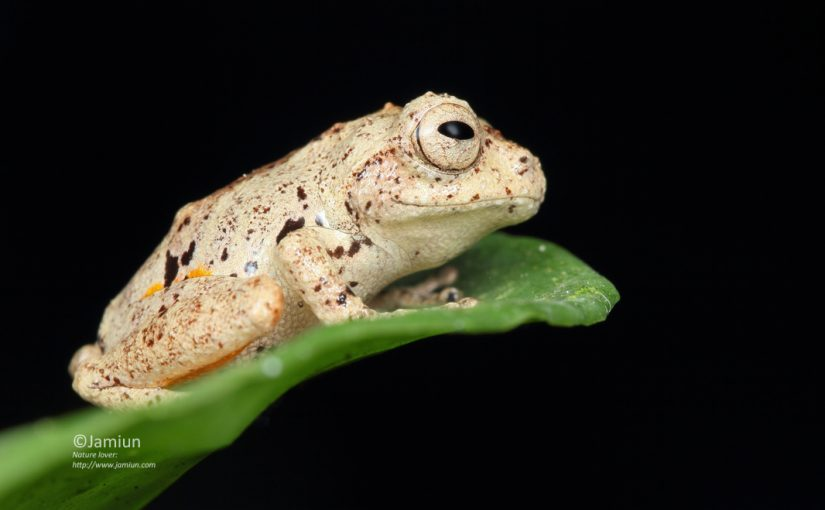 Philautus aurantium (Golden Legged Bush Frog)