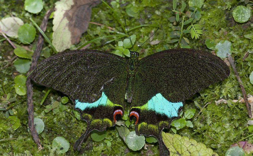 Papilio karna carnatus