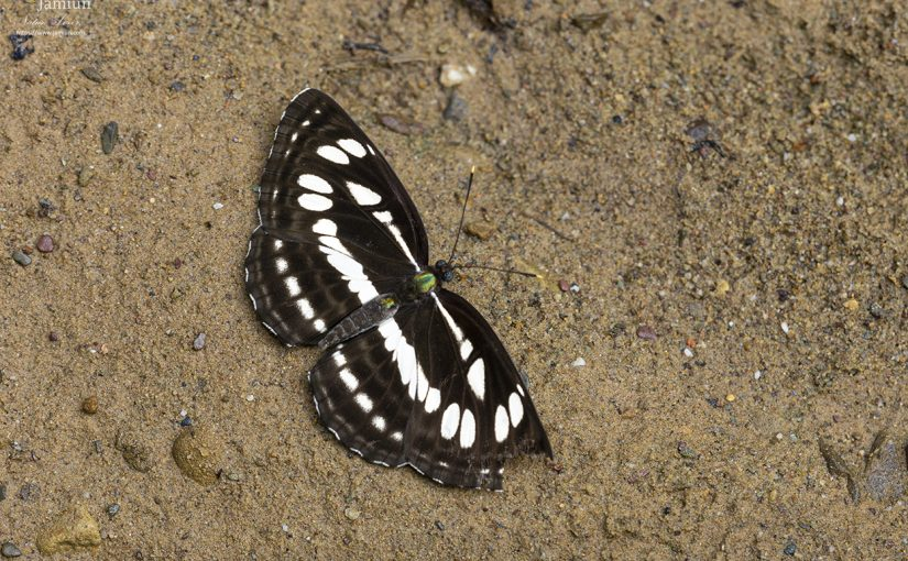 Neptis hylas sopatra (Common Sailor)